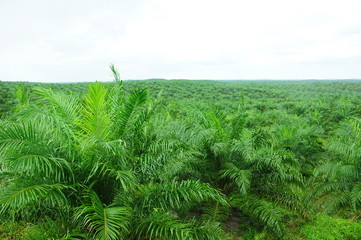 palm tree plantation field