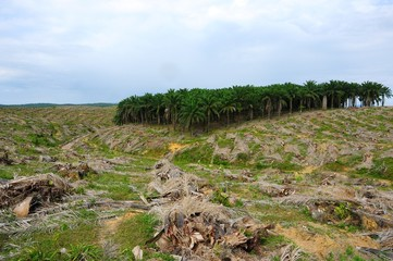Deforestation of palm tree plantation