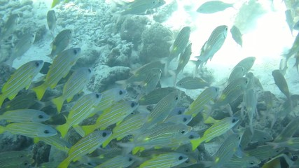 yellow fish school underwater in Maldievs