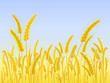 Yellow Wheat Field with Light Blue Sky