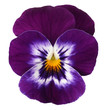 violett blue white pansy isolated on white background