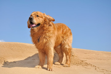 golden retriever dans le vent