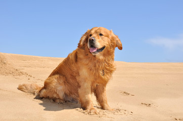 golden retriever assis dans le sable