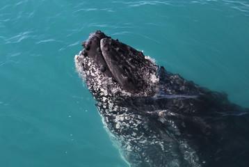 Humpback Whale in Australia (Whitsundays Islands)