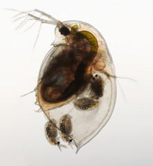 Daphnia - Wasserfloh - water flea - Geburt Jungtiere