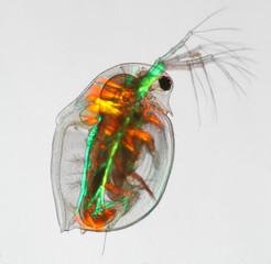Daphnia - Wasserfloh - water flea - polarisiertes Licht