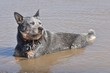australian cattle dog in water