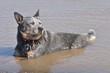 australian cattle dog in water