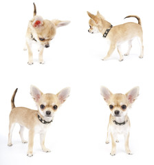 set of Chihuahua puppy with black leather collar images