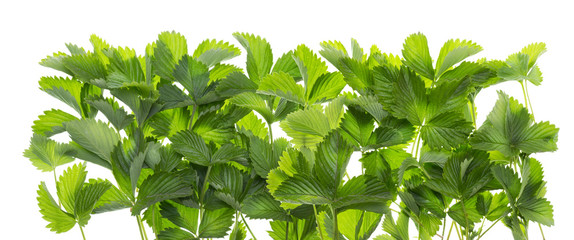 isolated border from   leaves of  strawberry