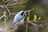 Blue tit on  branch with spring leaves