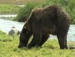 Braunbär frisst Lachs wildlife Katmai Alaska