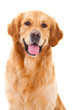 Leinwandbild Motiv golden retriever dog sitting on isolated  white