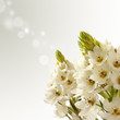 Orinitogallo fiori