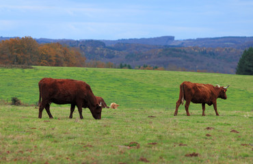 Brown cattles