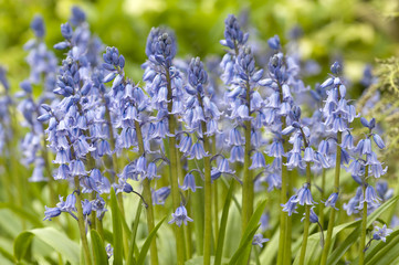 Native english bluebells