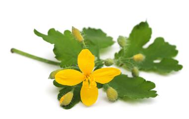 Сelandine flowers