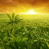 Green plants at sunset.