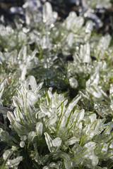 Frozen Grass Fingers Vertical