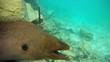 Unterwasseraufnahme einer Riesenmuraene wildlife Malediven