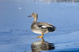 Gadwall Drake STanding On Ice poster