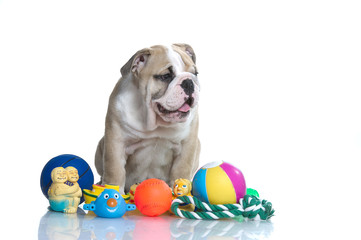 Playful english bulldog puppy with toys