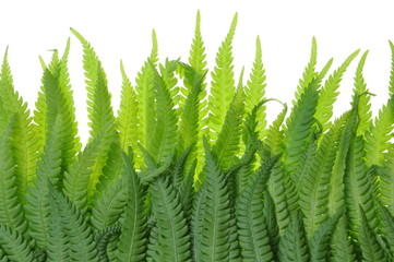 Fern leaves on a white background grass