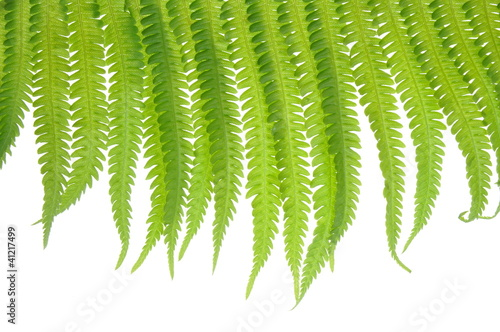 Fern leaves on a white background climber