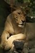 lionest