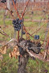 Weintrauben im Herbst