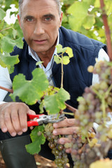 mature wine-grower harvesting