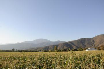 Plantación de maíz.