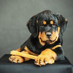 Rottweiler puppy on a black background