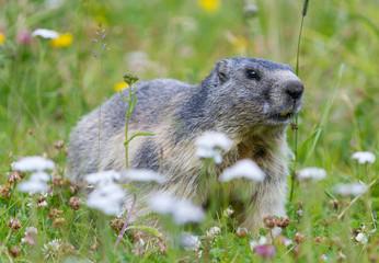 groundhog on alpine flower meadow