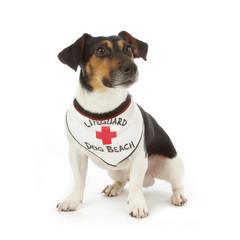 chien Jack Russel avec bandana gardien de plage