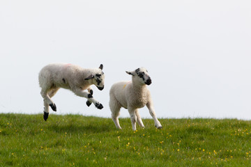 Leaping spring lambs