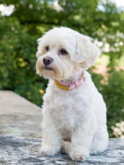 Portrait of watchful havanese dog