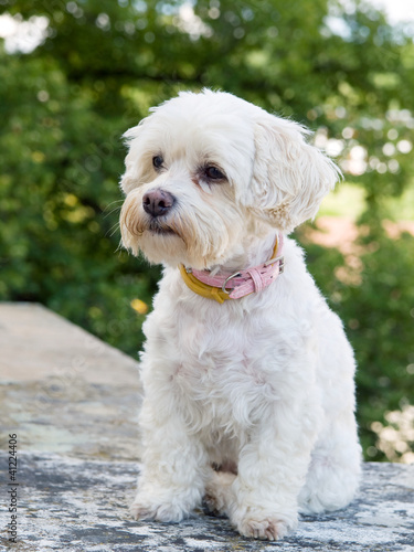 Portrait of watchful havanese dog