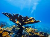 Elkhorn coral (Acropora palmata) on reef poster