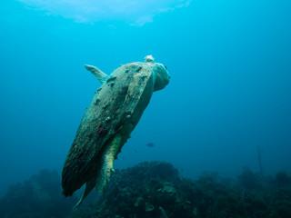 Injured loggerhead sea turtle swimming on reef