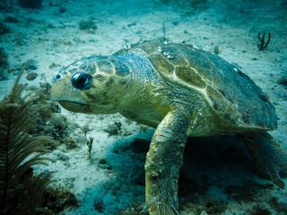 Loggerhead turtle on coral reef in Caribbean