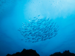 School of silver fish above coral reef