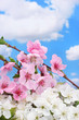 beautiful pink and white blossom on blue sky background