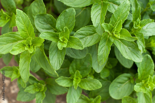 Branches of mint