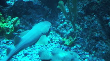 Shark resting