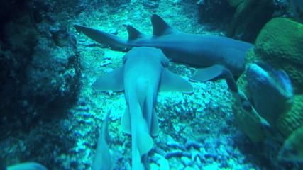 Two shark