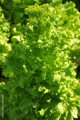 Fresh leaves of a lettuce plant
