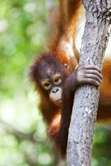 An orangutan in Borneo climbing a tree.