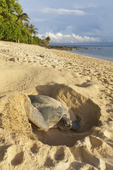 Green turtle laying her eggs on the beach.