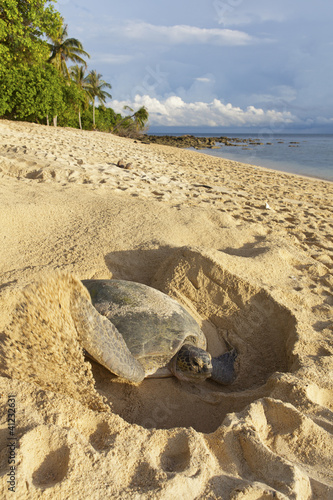 Papiers peints Tortue Green turtle laying her eggs on the beach.